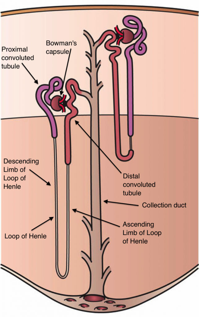Kidney Nephron Artwork by Holly Fisher - Source: Urinary Tract Slide 20, 26, CC BY 3.0, Wikimedia Commons