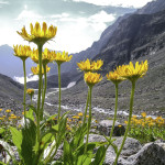 arnica montana in the alps