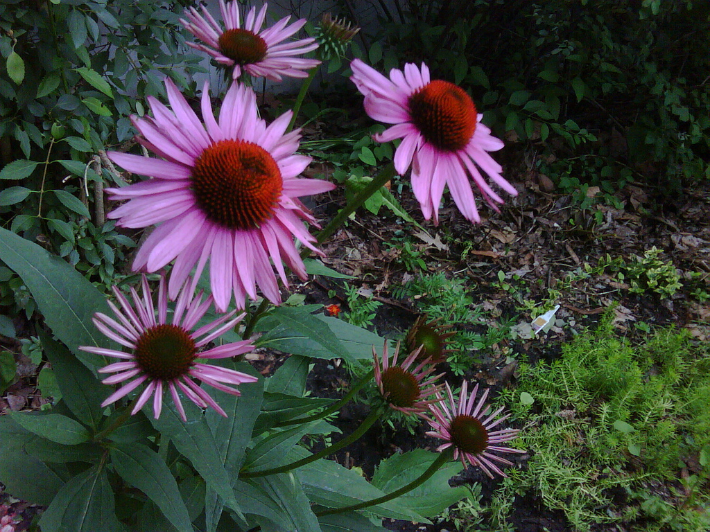 Echinacea or purple coneflower - Image Copyrights by: Joe Futrelle - Source: Flickr Creative Commons