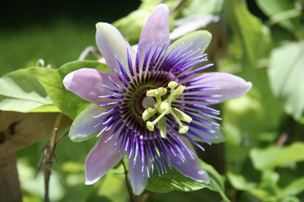Passiflora Incarnata (Passion Flower)