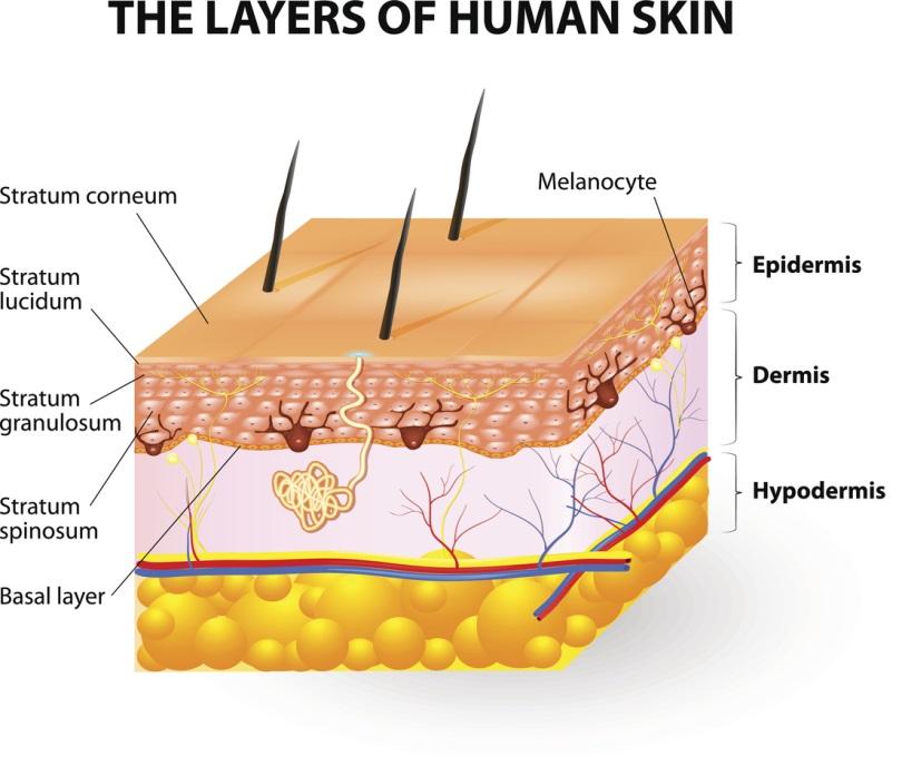 Epidermis and Dermis